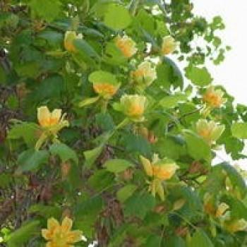 Лириодедрон тюльпановый