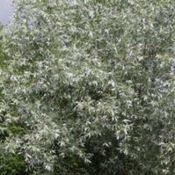 Ива белая ф. серебристая