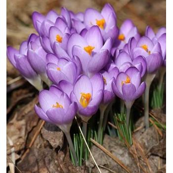 """Крокус ботанический """"Barr's Purple"""""""