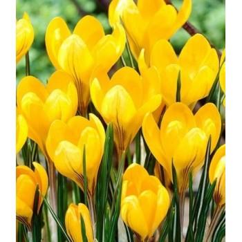 "Крокус крупноцветковый ""Golden Yellow"""