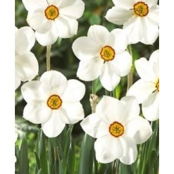 "Нарцисс крупнокорончатый ""Actaea"""