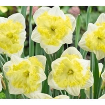 """Нарцисс орхидейный """"Frileuse"""""""
