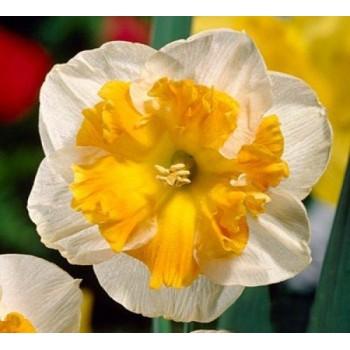 """Нарцисс орхидейный """"Orangery"""""""