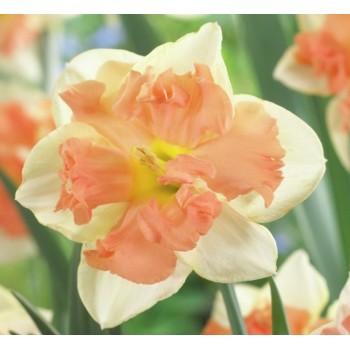 "Нарцисс орхидейный ""Vanilla Peach"""