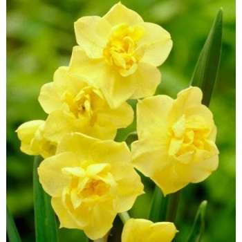 "Нарцисс поэтический ""Yellow Cheerfulness"""