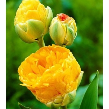 "Тюльпан махровый, ранний ""Double Beauty of Apeldoorn"""