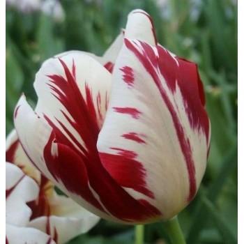 """Тюльпан простой, поздний """"Grand Perfection"""""""