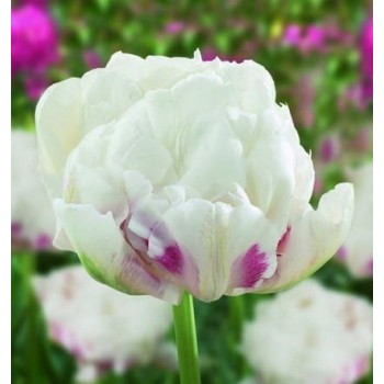 "Тюльпан махровый, ранний ""Ice Wonder"""