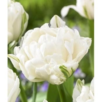 """Тюльпан махровый, поздний """"Mount Tacoma"""""""