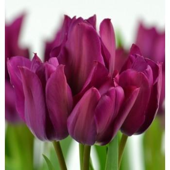 "Тюльпан многоцветковый ""Night Club"""