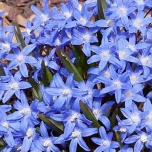 Хионодокса hisp. Blue