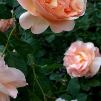"Роза ""Abbaye de Cluny"""