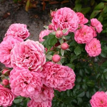 """Роза """"Amulett"""""""