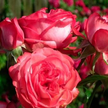 "Роза ""Antike 89"""