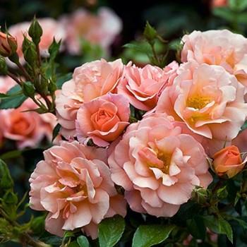 """Роза """"Aprikola"""""""