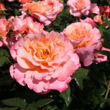 """Роза """"Augusta Luise"""""""