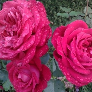 "Роза ""Dame de Coeur"""