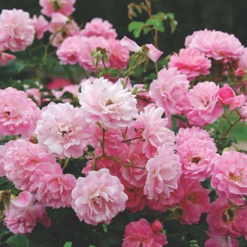 """Роза """"Heidekönigin"""""""