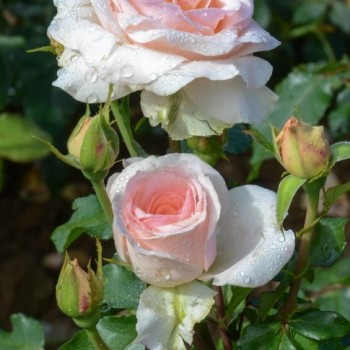 """Роза """"Johann Strauss"""""""