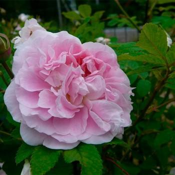 "Роза ""Martin Frobisher"""