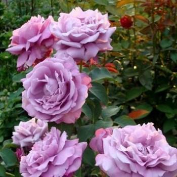 """Роза """"Nil Bleu"""""""