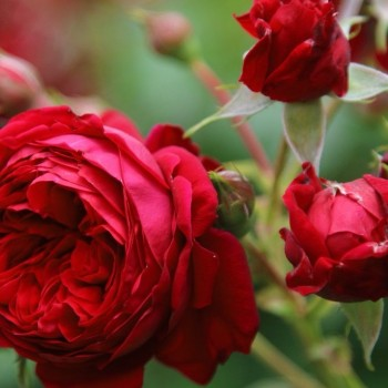 """Роза """"Red Leonardo da Vinci"""""""