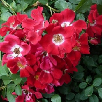 "Роза ""Red Meidiland"" (Rouge Meillandecor)"