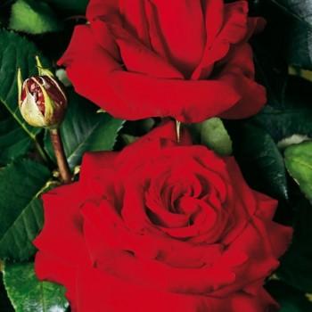 "Роза ""Red Nostalgie"""