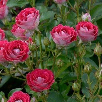"""Роза """"Schöne Koblenzerin"""""""
