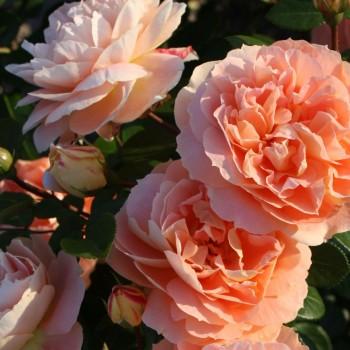 """Роза """"Schone vom See"""""""
