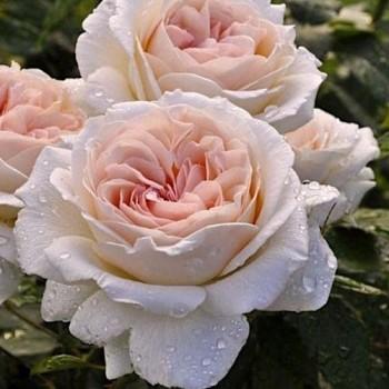 "Роза ""Sebastian Kneipp"""