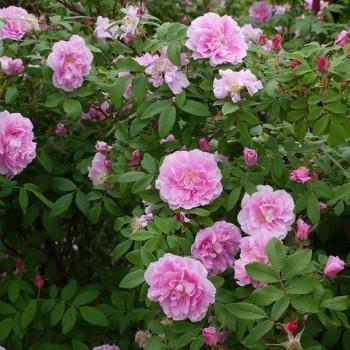 "Роза ""Therese Bugnet"""