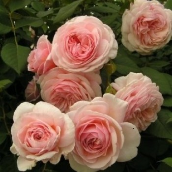 """Роза """"A Shropshire Lad"""""""