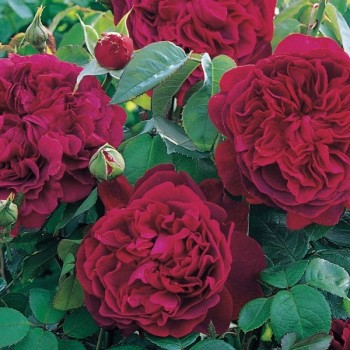"""Роза """"Darcey Bussell"""""""