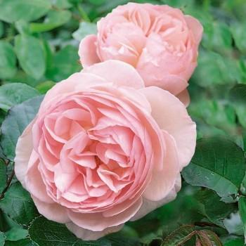 """Роза """"Heritage"""""""
