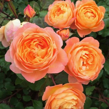 "Роза ""Lady Emma Hamilton"""