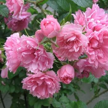 """Роза морщинистая """"Pink Grootendorst"""""""
