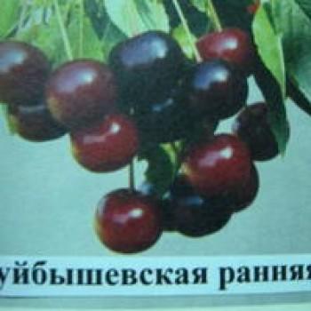 "Вишня обыкновенная ""Куйбышевская ранняя"""