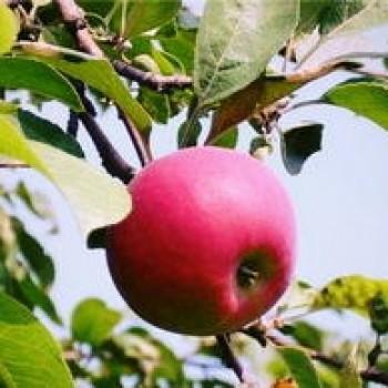 """Яблоня домашняя """"Красное раннее"""""""