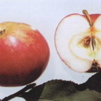 """Яблоня домашняя """"Мантет"""""""