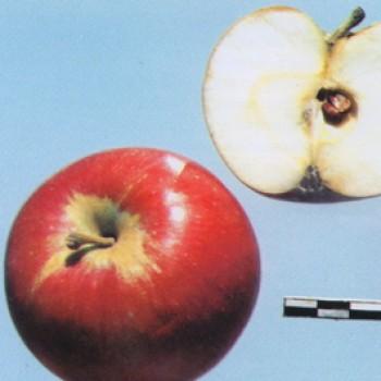 """Яблоня домашняя """"Орлик"""""""