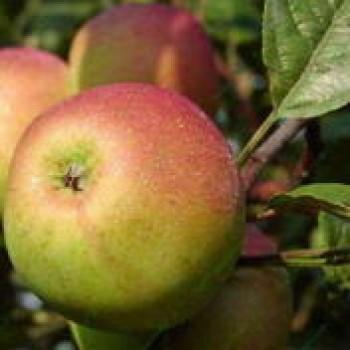 """Яблоня домашняя """"Орлинка"""""""
