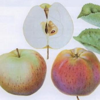 """Яблоня домашняя """"Осеннее полосатое"""""""