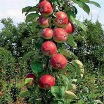 "Яблоня домашняя колоновидная ""Останкино"""