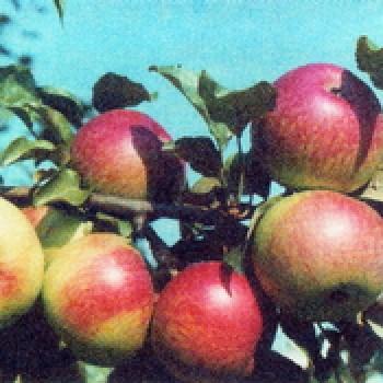 """Яблоня домашняя """"Уэлси"""""""