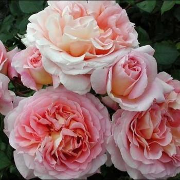 "Роза ""Abraham Darby"""