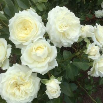 "Роза ""Alabaster"""