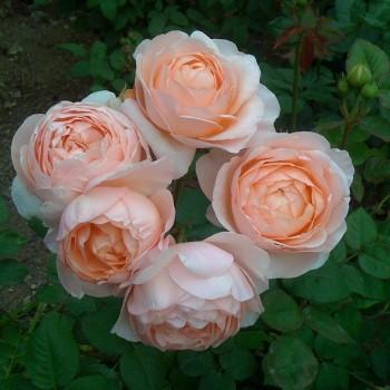 """Роза """"Ambridge Rose"""""""