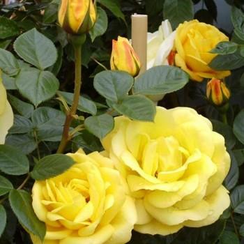 """Роза """"Arthur Bell"""""""