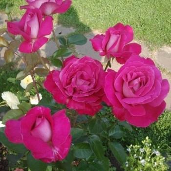 """Роза """"Barone Edmond de Rothschild"""""""